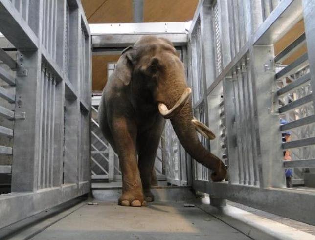 Elefant Maxi