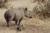 A Tale of Pregnant Rhinos